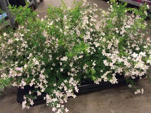 Boronia anemonifolia.