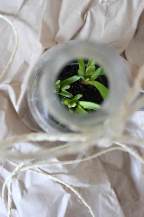 DET SPIRER: Jeg glemte å plante løkene ut i høst, de har lagt kaldt og mørkt i kjelleren. Nå titter blomstene frem, beskyttet under flasken.  FOTO: Stina Andersen / Fru Andersen