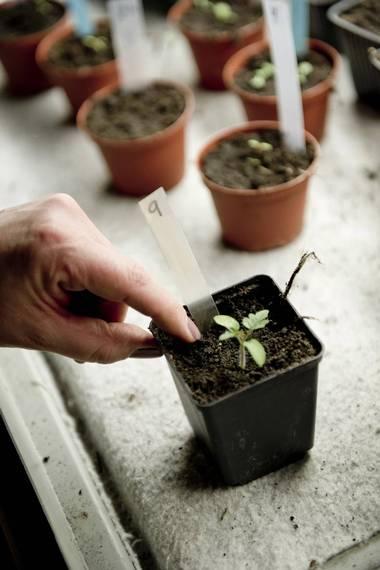 TOMAT: Det er nesten rart å tenke på at denne lille spiren om noen måneder er en fyldig tomatplante. FOTO: Jon Olav Nesvold, NTB scanpix