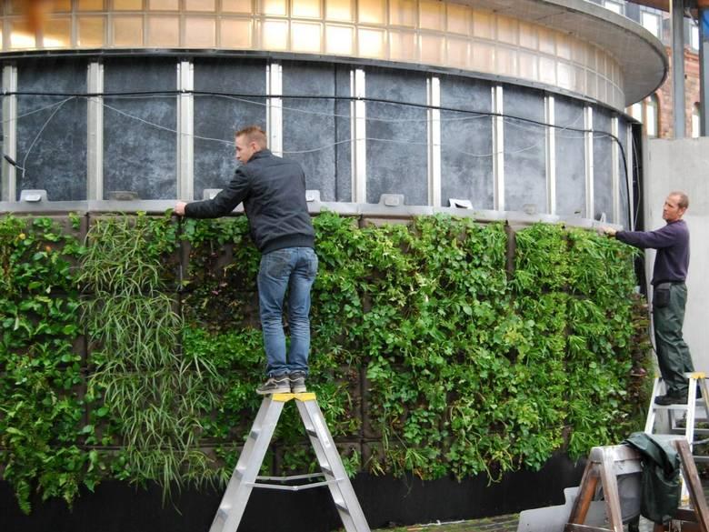 GRØNNE LINDER: helsingborg har bygget en av Sveriges første offentlige vertikale hager utendørs. Det er en av veggene som forskere ved Sveriges landbruksuniversitet studerer for å lære seg mer om grønne vegger i vårt nordiske klima. FOTO: MICHAEL HELLGREN