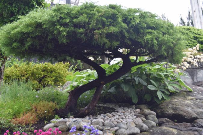 """BONSAI: Ett lite """"bonsai tre"""" har fått plass i hagen. Legg merke til de fine steinene rundt. FOTO: Elisabeth Heggland Urø"""