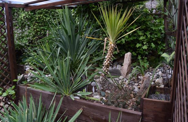 I LY: Her er det palmer og kaktuser side om side. Eføyen som klatrer i bakgrunnen hjelper også med å gi ly mot vinterstormene. FOTO: Elisabeth Heggland Urø