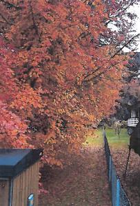 LØVFALL: Tre hengerlass løv felles fra trærne hvert år, ifølge ekteparet Sunde.